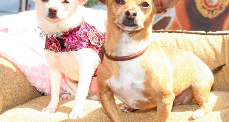 """Chloe y Papi en la premier de la cinta """"Un chihuahua de Beverly Hills""""."""""""