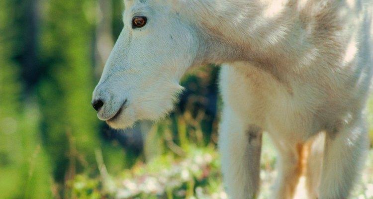 As cabras podem ser usadas como agentes de controle biológico no combate ao kudzu