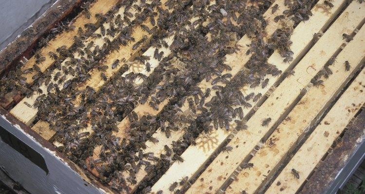 O pólen impede que as abelhas se alimentem do próprio mel