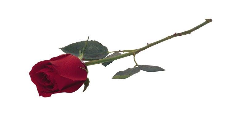 Ten mucho cuidado con las espinas de las rosas de origen desconocido.