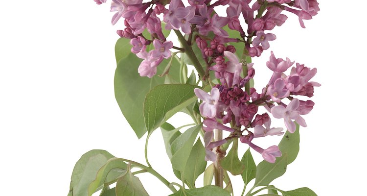 Healthy lilac leaves are unfurled and flat.