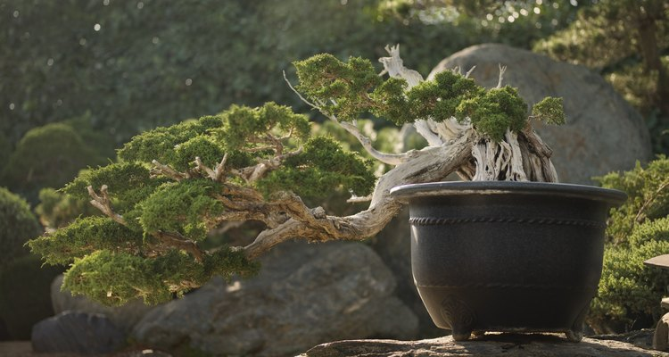 Los cedros son atractivos bonsais.