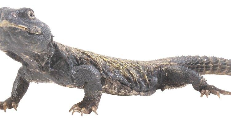 Los eslizones se encuentran en las zonas montañosas y desprenden su cola cuando son atrapados.