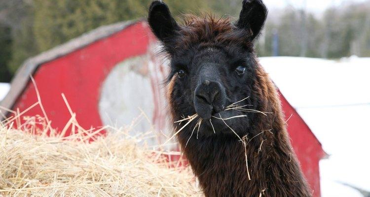 Lã de alpaca é macia e durável para os itens feitos à mão