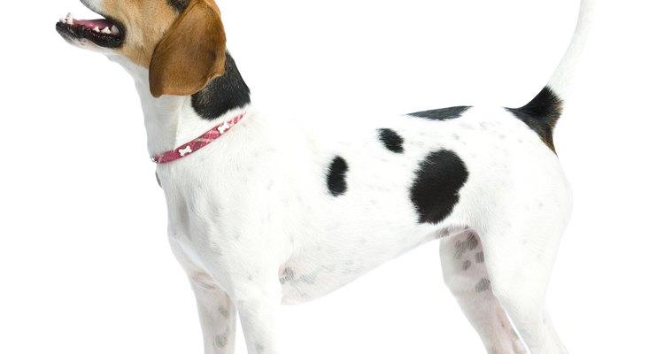 Cómo saber si mi perra recientemente esterilizada tiene una infección.