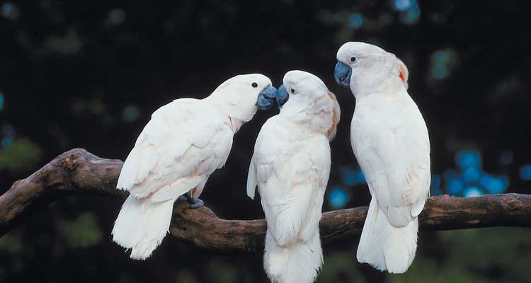 It is impossible to pinpoint exactly the age of a cockatoo.
