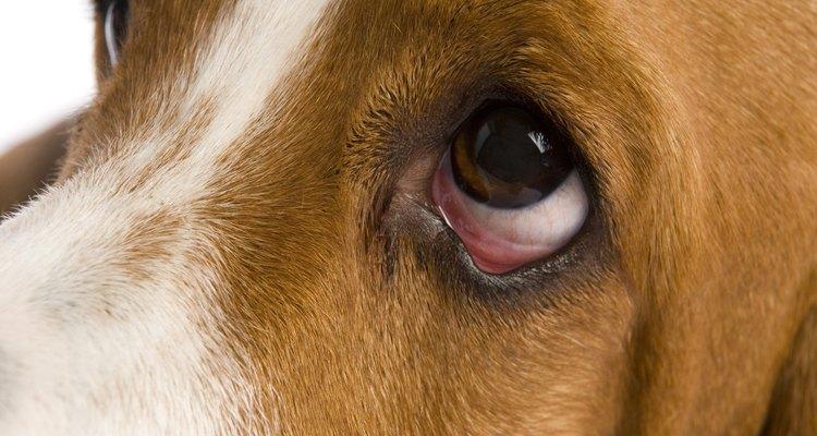Los perros pueden tener alergias estacionales, al igual que los humanos.