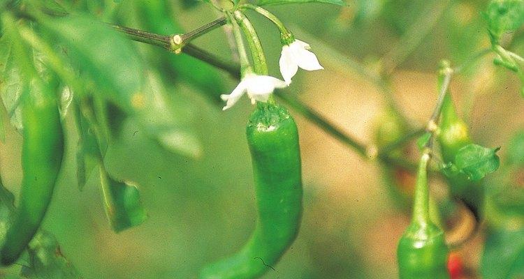 A fin de tener pimientos, tus plantas deben florecer exitosamente.
