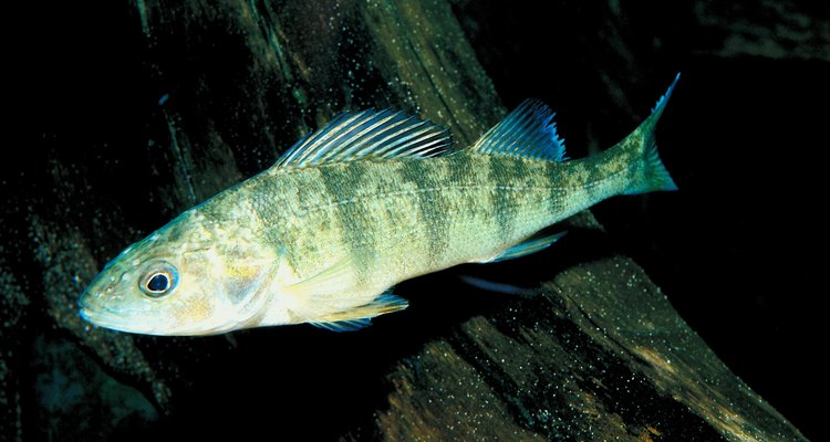 A yellow perch swims past some wood.