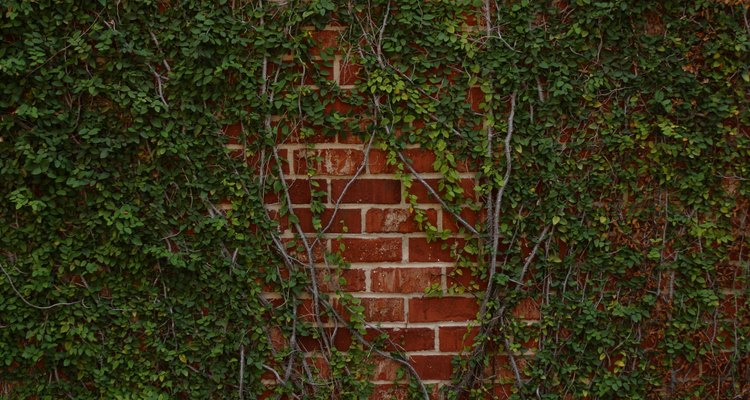 A living, evergreen screen is one way to hide your brick wall year-round.