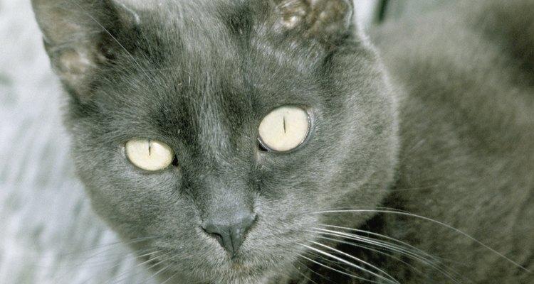 Las personalidades de los gatos grises varían de gato a gato.