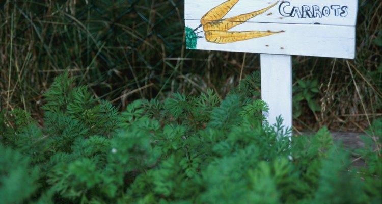 As cenouras precisam de um solo constantemente úmido para que brotem