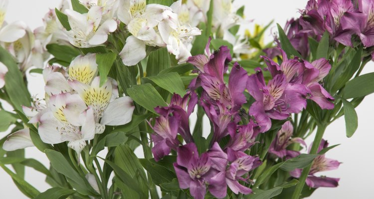Peruvian lilies are beautiful, but they can harm your cat.