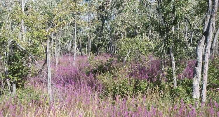 Evita las plantas agresivas e invasivas como la salicaria.