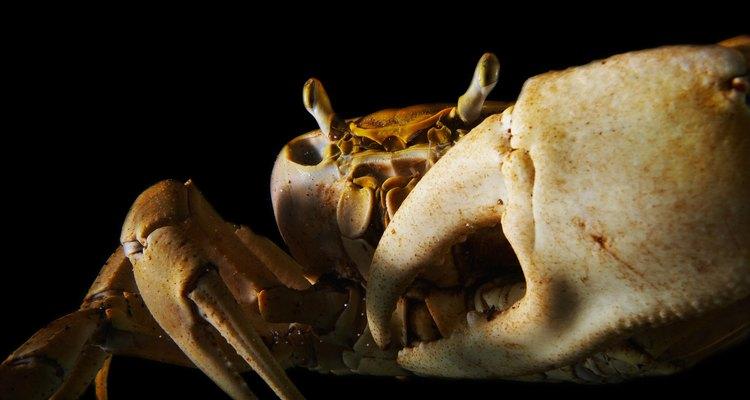 O caranguejo do manguezal pode ser um animal de estimação interessante para muitas pessoas