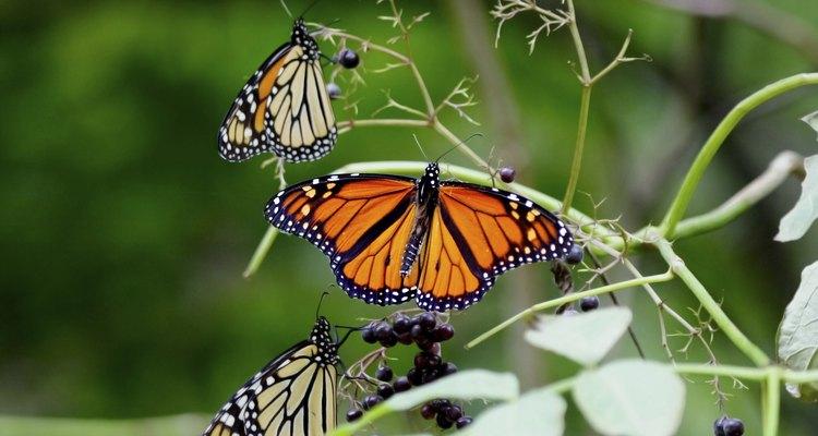 Três borboletas nas hastes de uma planta