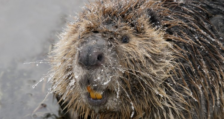 Los castores han regresado a Florida tras una ausencia de un siglo.