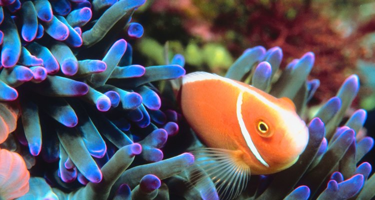 Clownfish live among sea anemone as protection from predators.