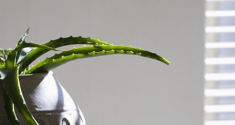 Extraído directamente de las hojas caseras, el aloe vera puede ser aplicado en la piel.