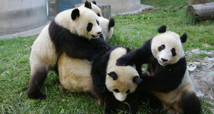 Pandas juegan en el Centro de Investigación y Protección de Wolong, en China.