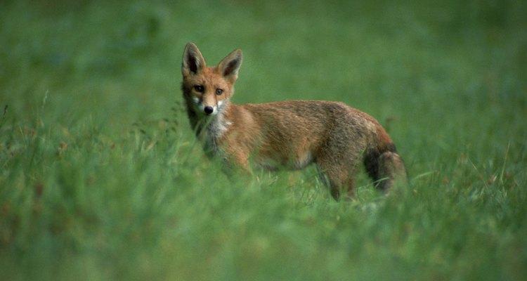 Evite que raposas cavem buracos