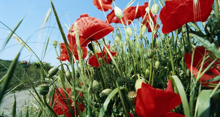 Some poppy roots survive underground until the following year.