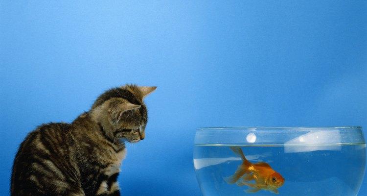 Não deixe seu peixe virar comida de gato