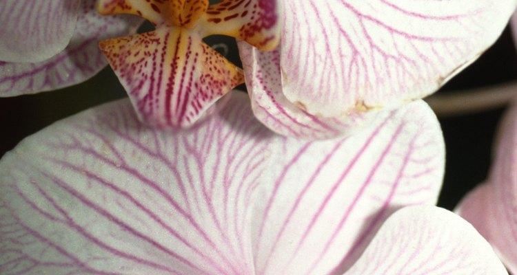 Las orquídeas florecen en un ambiente hogareño moderado.