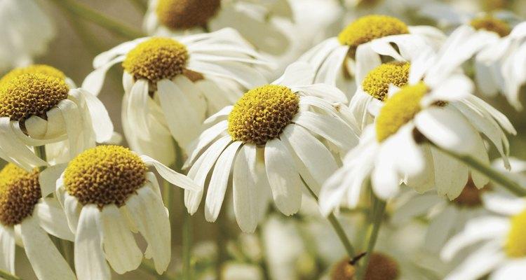 Utiliza las propiedades naturales del té de manzanilla para aclarar el cabello.