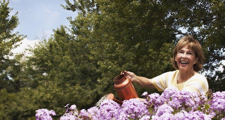 Mujer regando hortensias lilas.