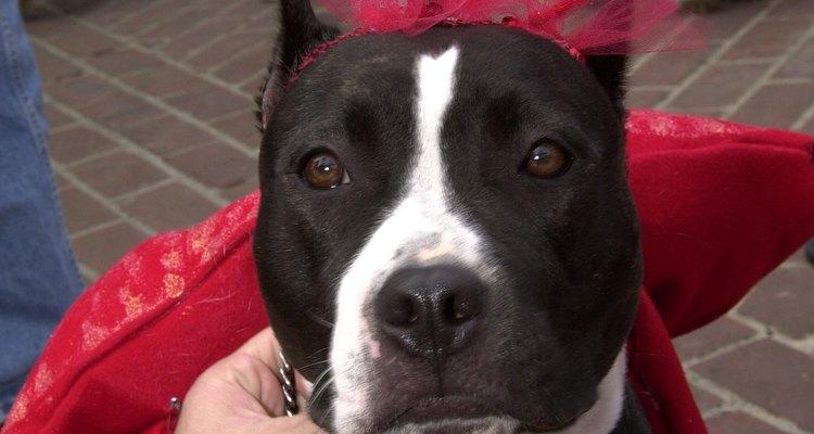 El pitbull se caracteriza no sólo por fuerte y ágil, sino también por carismático.