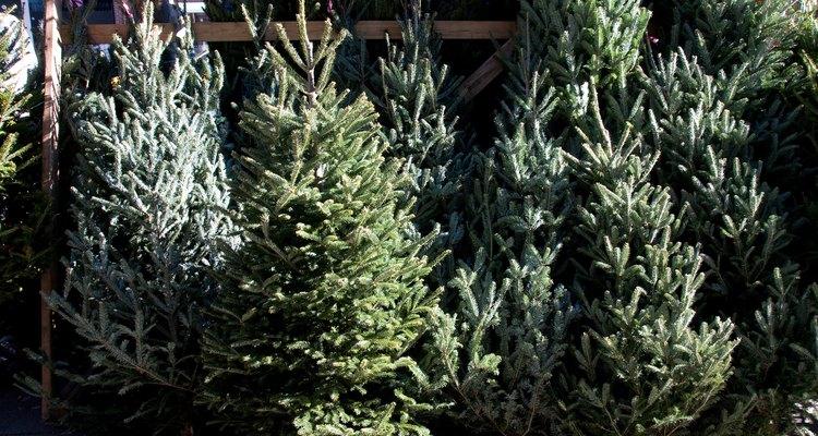 El abeto de Douglas se usa comúnmente como árbol de Navidad.