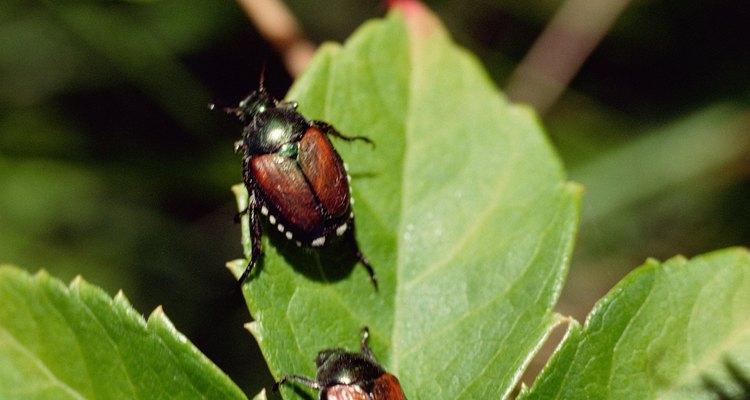 O besouro-japonês cria buracos nas folhas das plantas