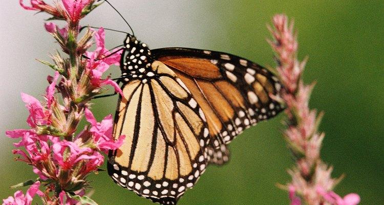 As cores da borboleta servem para afastar predadores