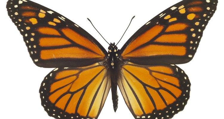 As borboletas são uma das muitas espécies de insetos que sofrem metamorfose completa
