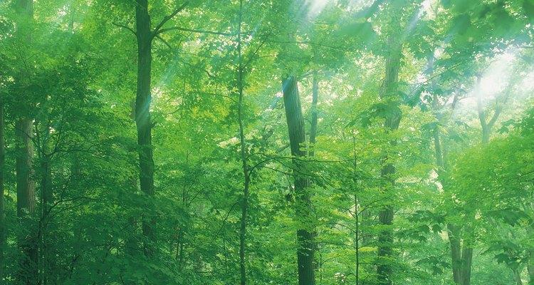 Los fabricantes de tacos de billar utilizan la madera del arce para hacerlos.
