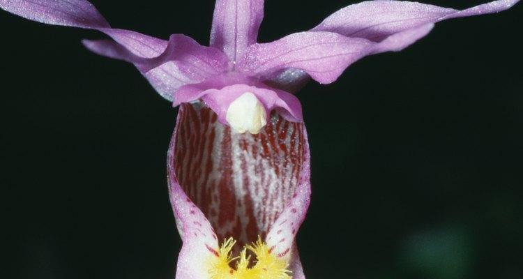 Orquídeas Calypso são encontradas em regiões de temperaturas moderadas ao longo da América do Norte