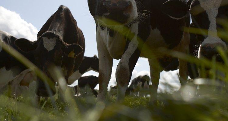 Las vacas miran en la misma dirección cuando comen.