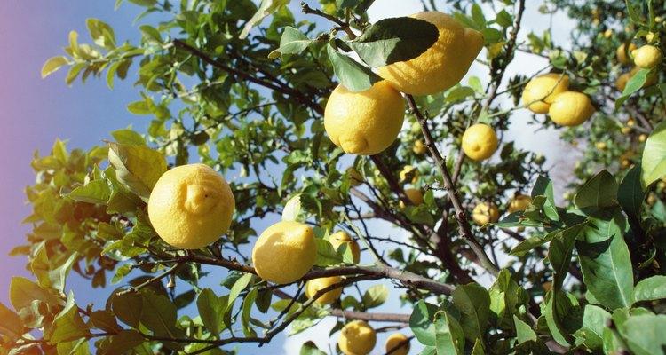 Os limoeiros enriquecem a paisagem dos pomares das regiões quentes