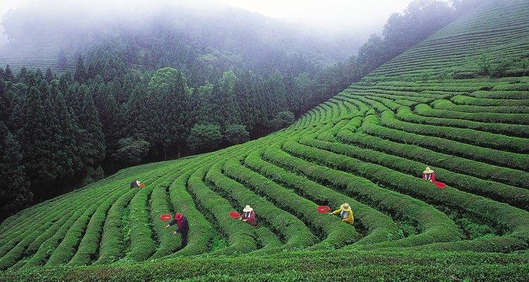 El té Bancha se cosecha tarde, en el verano y en el otoño.