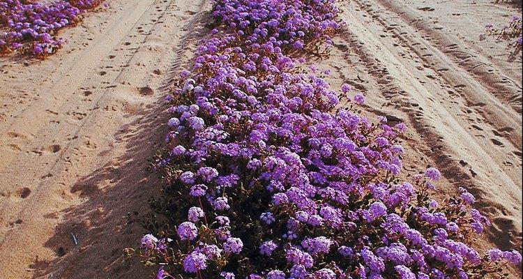 Una cubierta de tierra, cultiva verbena hasta cerca de 6 pulgadas (15,24 cm) de altura.