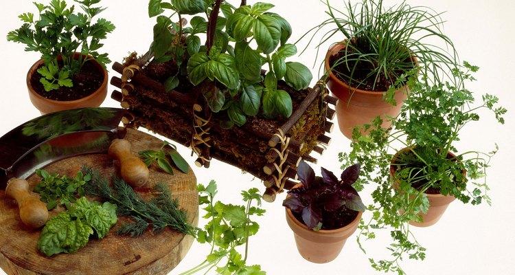 Los cocineros puedes cultivar hierbas como perejil y cilantro en macetas en el interior.