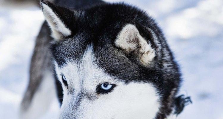 A cor dos olhos de um husky siberiano é determinada pela genética
