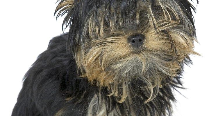 As pulgas são um problema comum que atormenta os cachorros
