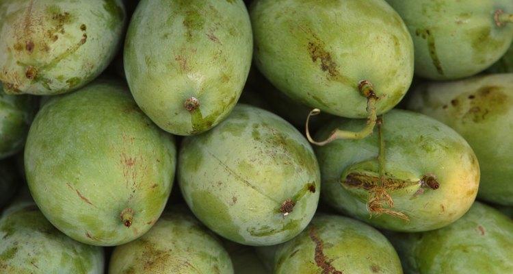 As mangas são colhidas ainda verdes para serem artificialmente amadurecidas depois