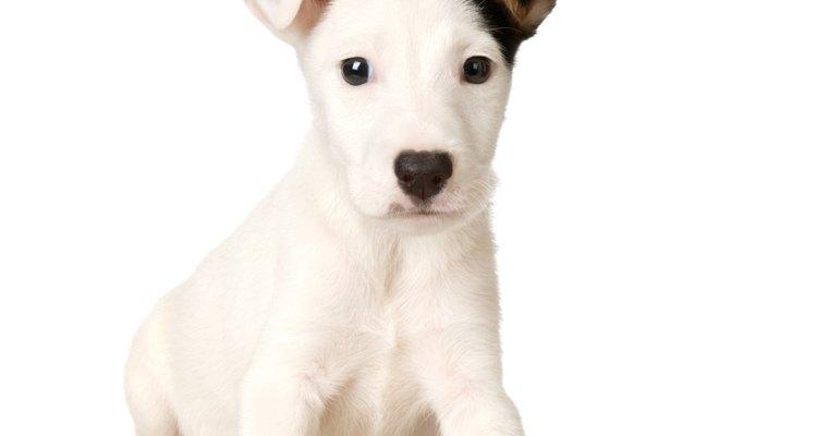 Cómo reconocer y tratar el estrabismo en los perros.