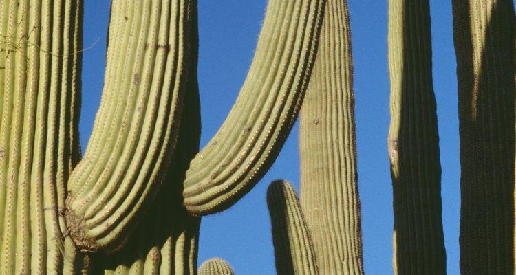 El saguaro suele ser usado en paisajes desérticos.