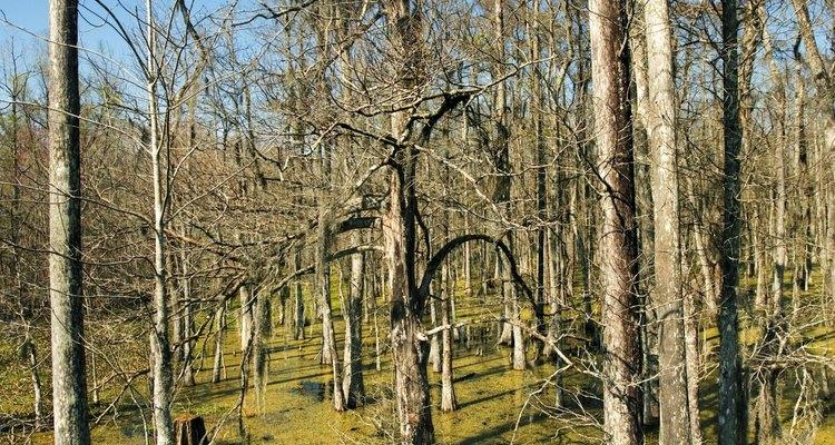 Muchas especies de ciprés crecen en condiciones pantanosas y, a menudo crecen en los pantanos.