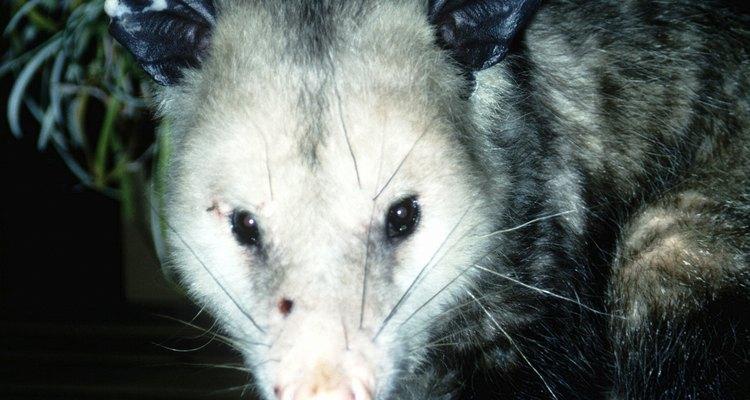É provável que um gambá com os olhos abertos tenha mais de 70 dias