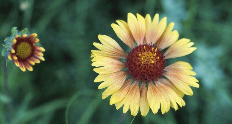 Gaillardia is grown for its large, daisy-like flowers.